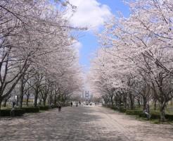 桜の開花前線と開花状況の調べ方